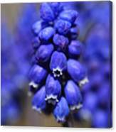Grape Hyacinth - Muscari Canvas Print