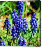 Grape Hyacinths  Canvas Print