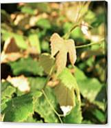 Grape Vine 3 Canvas Print