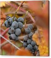 Grape Vine Closeup Canvas Print