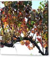 Grape Vine In Autumn Canvas Print