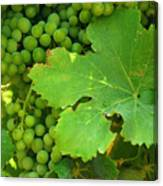 Grape Vine Heavy With Green Grapes Canvas Print