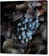 grape vine I Canvas Print