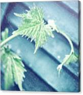 Grape Vine Old Style Background Canvas Print