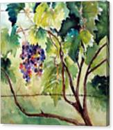 Grape Vines At Otter Creek Canvas Print