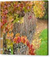Grape Vines In Fall Canvas Print