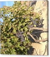 Grape's At Harvest Canvas Print