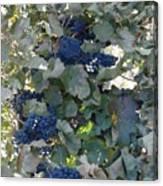 Grape's At Harvest Time Canvas Print