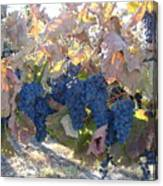 Grape's At There Best Canvas Print