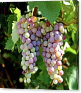 Grapes In Color  Canvas Print
