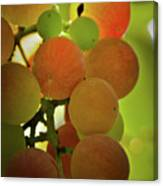 Grapes On The Vine Canvas Print