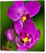 Grapette Ground Orchid Canvas Print