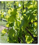 Grapevine In Early Spring Canvas Print