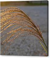 Grassflowers In The Setting Sun Canvas Print