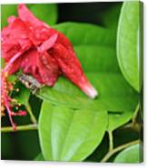 Grasshopper And Hibiscus Canvas Print