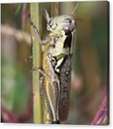 Grasshopper Canvas Print