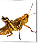 Grasshopper I Canvas Print