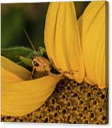 Grasshopper In Sunflower Canvas Print