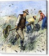 Grasshopper Plague, 1888 Canvas Print
