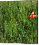 Grassland And Red Poppy Flower 2 Canvas Print