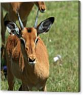 Grassland Deer Canvas Print