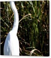 Grassy Egret Canvas Print