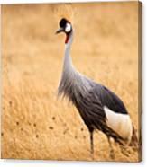Gray Crowned Crane Canvas Print
