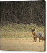 Gray Fox In Lower Pasture Canvas Print