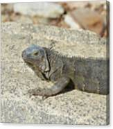 Gray Iguana Sunning And Resting On A Large Rock Canvas Print