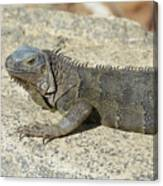 Gray Iguana With Long Talons Sitting On A Rock Canvas Print