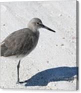 Gray Sandpiper On White Beach Canvas Print