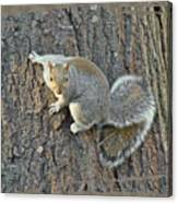 Gray Squirrel - Sciurus Carolinensis Canvas Print