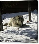 Gray Wolf 2 Canvas Print