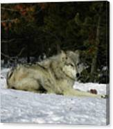 Gray Wolf 5 Canvas Print