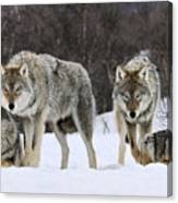 Gray Wolves Norway Canvas Print