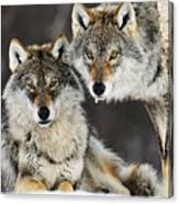 Gray Wolf Canis Lupus Pair In The Snow Canvas Print