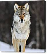 Gray Wolf In The Snow Canvas Print