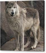Gray Wolf On A Rock Canvas Print