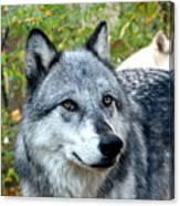 gray Wolf Pair Canvas Print