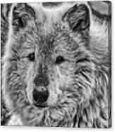 Gray Wolf Portrait Canvas Print