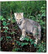 gray Wolf Pup in Woods Canvas Print