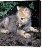 Gray Wolf Pup With Prey Canvas Print