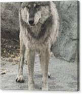 Gray Wolf Stare Canvas Print
