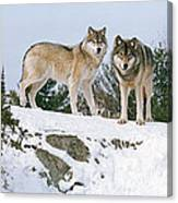 Gray Wolves Canis Lupus In A Forest Canvas Print