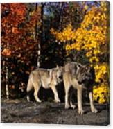 Gray Wolves In Autumn Canvas Print