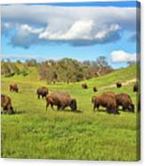 Grazing Buffalo Canvas Print