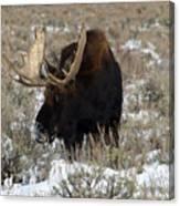 Grazing Bull Moose Canvas Print