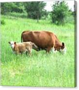 Grazing Cow And Calf Canvas Print