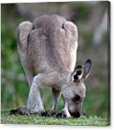 Grazing Kangaroo Canvas Print