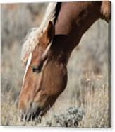 Grazing Wild Horse  Canvas Print